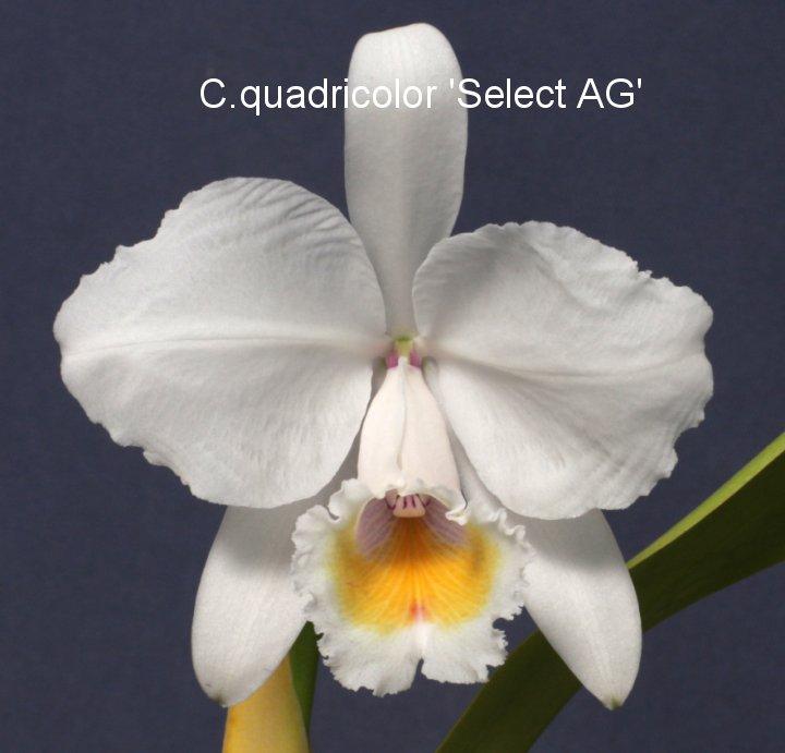 C.quadricolor採取株選抜各個体 3〜5バルブ開花サイズ 1株 7,500円掲載の写真は使用を禁止します。
