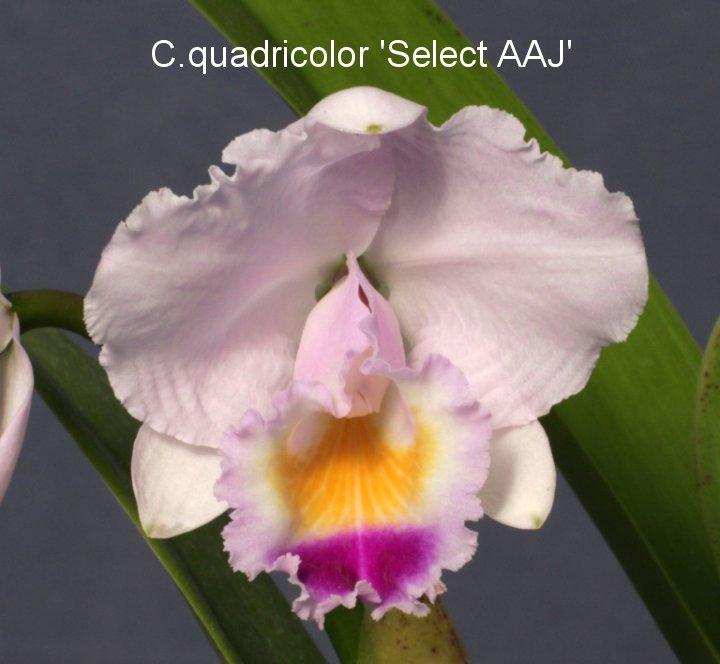 C.quadricolor採取株選抜各個体 3〜5バルブ開花サイズ 1株 12,000円掲載の写真は使用を禁止します。